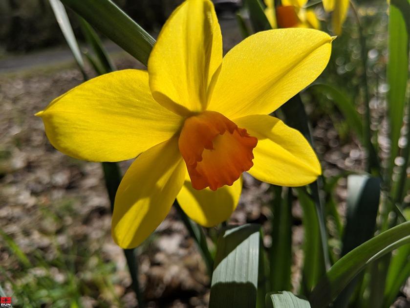 Fortissimo Daffodil in Waveny Park, April 2019