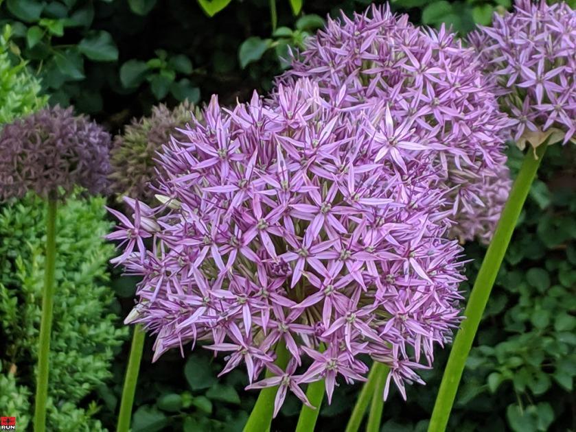 Globemaster Allium flower, Waveny Park, May 2019
