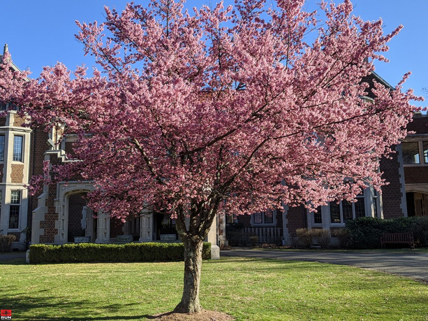 Cherry blossoms in Waveny Park, Spring 2020